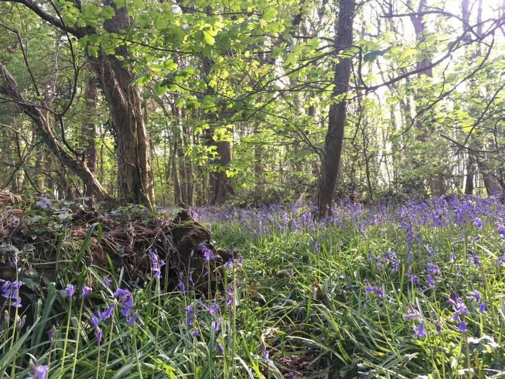 Wildflower Wood bluebells